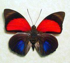 Agrias Claudina Lugens Real Red Blue Framed Butterfly 438. $69.99, via Etsy.