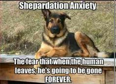 #gsd #germanshepherd