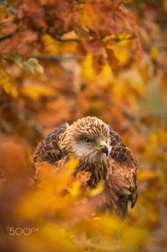 Red Kite by Carl Mckie / 500px Red Kite, Birds Of Prey, Owl, Animals, Animales, Animaux, Owls, Animal, Animais