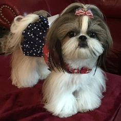 cute little Shih Tzu #DogCutest