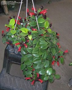 PlantFiles Pictures: Aeschynanthus Species, Basket Vine, Lipstick Plant (Aeschynanthus radicans) by Equilibrium Lipstick Plant, Seed Pods, Begonia, Planting Seeds, Tropical Plants, Houseplants, Container Gardening, Indoor Plants, Perennials
