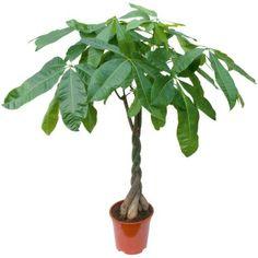 1000 Ideas About Pachira Aquatica On Pinterest Plante Interieur Plante Verte And Plants