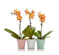 Add spark to your events with mini orchids...