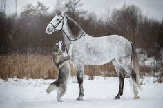 PsBattle: Husky and a horse Horses And Dogs, Cute Horses, Pretty Horses, Horse Love, Beautiful Horses, Animals Beautiful, Animals And Pets, Cute Animals, Horse Photos