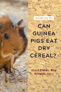 Can Guinea Pigs Eat Dry Cereal | what precautions you need to take I how to care for pet guinea pigs I pet baby guinea pig care I small animal care I guinea pig information I information on pet guinea pigs I what to do with pet guinea pigs I things to know about pet guinea pigs I pet guinea pig tips I care tips for pet guinea pigs I small pet homes I guinea pig cages I #guineapigseatcereal  #guineapigs #smallpets Guinea Pig Food, Baby Guinea Pigs, Guinea Pig Care, Guinea Pig Information, Pig Diet, Kinds Of Cereal, Pig Facts, Pigs Eating, Guinea Pig Bedding