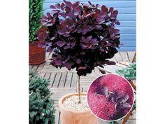 Perückenstrauch-Stämmchen Cotinus Zierstämmchen,1 Pflanze 1