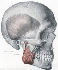 The temporal and masseter muscles. These are responsible for clenching the jaw together. If you have TMJ, massaging the Masseter (shown in red) internally (inside the mouth) and externally (outside the mouth) will help tremendously. Gentle clockwise motion to the Temporal muscle will help any residual tension.