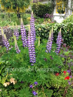 Lupine at Adare Bloom, Plants, Design, Plant, Planets