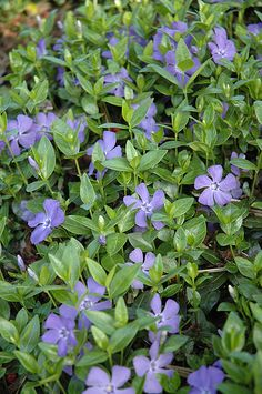 Click to view full-size photo of Dart's Blue Periwinkle (Vinca minor 'Dart's Blue') at Dundee Nursery