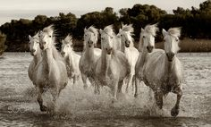 Camargue horse. - Famous Camargue horses running through wetlands. South of France.