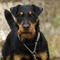 Dog care is a tremendous amount of work, and it can be hard Patterdale Terrier, Airedale Terrier, Terrier Dogs, Welsh Terrier, Terrier Breeds, Terriers, Curly Coated Retriever, Unique Dog Breeds, Rare Dog Breeds