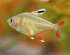 We can supply tetra fish like lbino buenos tetra, albino congo tetra ...