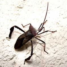 2.5 inches long; Augusta, GA 7-8-15. Belongs to the family of leaf footed bugs (Coreidae); photo by Sweet Freedom Designs