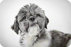 Theo by Richard Phibbs.  He is a Shih Tzu up for adoption at the Humane Society of New York.