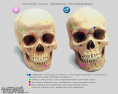 Anatomy For Sculptors - proportion calculator, store, services, video, links, blog