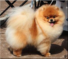 Pomeranian (Ryoo-09.deviantart.com on @DeviantArt)