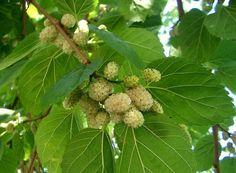 Шелковица, она же тутовое дерево