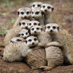 merrkat family portrait :)