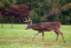 Beautiful white tailed deer in Cades Cove