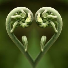 La magie de Fibonacci dans la nature, les maths de Dieu … The magic of Fibonacci in nature, the maths Heart In Nature, All Nature, Heart Art, Amazing Nature, Nature Images, Green Nature, Fern Images, Fern Frond, I Love Heart