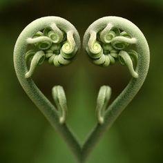 La magie de Fibonacci dans la nature, les maths de Dieu … The magic of Fibonacci in nature, the maths Heart In Nature, All Nature, Heart Art, Amazing Nature, Nature Images, Green Nature, Fern Images, Nature Pictures, Fern Frond