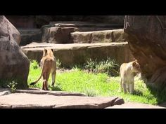 Queens of the Jungle: Lincoln Park Zoo Welcomes Two Lionesses 5/13/15