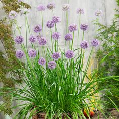 What a beautiful and delicious patio or garden perennial, Garlic Quattro is new for 2021! The Allium Quattro F1 flowers in July for about 7 weeks. It has ball-shaped purple flowers with a vase life of up to 3 weeks. An additional benefit is that the flowers attract flower-loving insects, such as bees and butterflies. The Allium Quattro has thick and tasteful leaves that taste like an onion with a slight bit of garlic. NGB member Pure Line Seeds, Inc. Downers Grove, Allium, Grow Your Own Food, Gardening Tips, Vegetable Gardening, Cool Plants, Unique Recipes, Hanging Baskets, Kraut