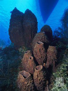 Cluster of Giant Barrel Sponges