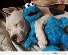 Funny pitbull dog sleeping hugging a Cookie Monster toy looking cute.