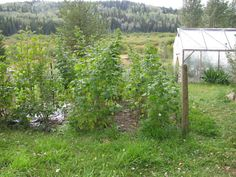 How to Keep Your Raspberry Patch in Line!  Make sure to give it a good Fall cleanup!