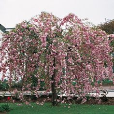 Cheals Weeping Cherry has clear, bright pink double flowers and is a terrific deciduous weeping tree that is good as a lawn specimen.