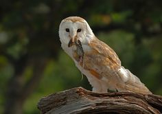 Barn Owl with Prey by Ronald Coulter            Ronald Coulter: Photos                                 #animals #photography