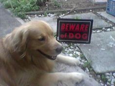 HAHAHAHAHA. Yes. Beware of the gentle golden retriever. Such an attack dog. LOL