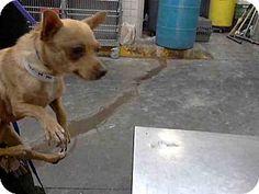 Mesa, AZ - Chihuahua Mix. Meet A3628465, a dog for adoption. http://www.adoptapet.com/pet/13388432-mesa-arizona-chihuahua-mix