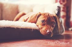 Hungarian Vizsla puppy pet lifestyle photography surrey laurawetherall.com photographer or gorgeous things!