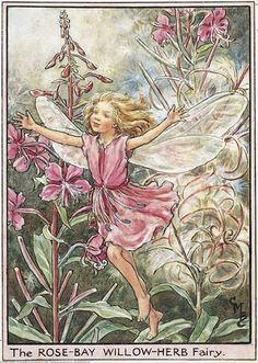 Illustration for the Rose-Bay Willow-Herb Fairy from Flower Fairies of the Wayside. A girl fairy dances towards the front with her arms outstretched.  										   																										Author / Illustrator  								Cicely Mary Barker