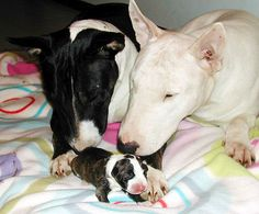 a happy family of bull terriers