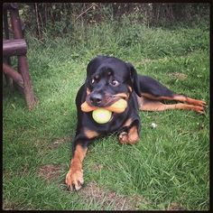 #Rottweiler. It's all mine!