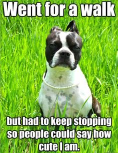 To celebrate these goofy Boston Terrier dogs and the joy they give their owners, here are 22 of the best funny dog memes with Boston Terrier dogs. Funny Dog Memes, Funny Dogs, Funny Animals, Cute Animals, Animals Dog, Funny Quotes, Dog Funnies, Animal Funnies, Animal Jokes