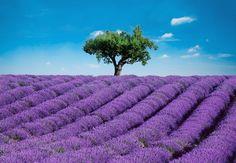 Fotomural Wizard Genius Provence 144, campo de lavanda.                                                                                                                                                     Más