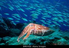 Broadclub cuttlefish at rest with a school of Fusiliers in background, Indonesia.    © Steve Bloom Images / Alamy