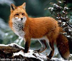 rudy lis - Szukaj w Google