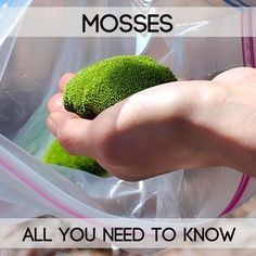Moss is a small green photosynthetic plant with some extra special properties!