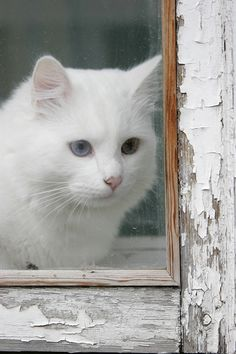 White Beautiful Cat