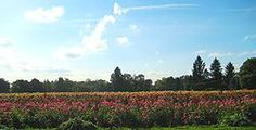 Dahlia field in Canby, Oregon in the Willamette Valley from Wikipedia