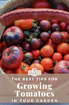 Growing tomatoes is easy, as long as you pay attention to a few details. Set yourself up for tomato growing success with these tips! Vegetable Garden For Beginners, Gardening For Beginners, Gardening Tips, Planting Vegetables, Growing Vegetables, Vegetable Gardening, Growing Plants, Veggies, Tomato Garden