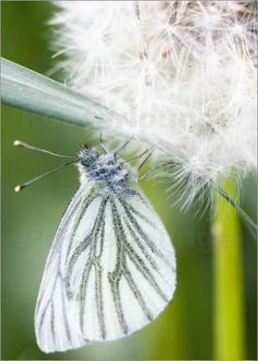 Schmetterling Pusteblume