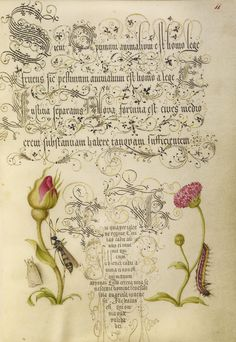 Wainscot, French Rose, Wasplike Insect, English Daisy, and Caterpillar; Mira calligraphiae monumenta - by Joris Hoefnagel (Flemish / Hungarian, 1542 - 1600) and Georg Bocskay (Hungarian, died 1575) - written 1561 - 1562; illumination added about 1591 - 1596 - via Getty Museum