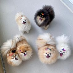 A G N E S . ... - #Boo Family Mickey Rourke, Jiff Pom, Husky, Free Puppies, Most Beautiful Dogs, Squad Goals, Yorkshire Terrier, Pomeranian, Poodle
