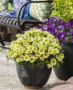50 best plants for spring color images on pinterest in 2018 supertunia limoncello is cool and heat tolerant a good choice for spring into summer mightylinksfo